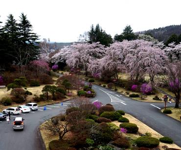 ซากุระญี่ปุ่น (เที่ยวคาวากุจิโกะ) วันนั้น…กับความทรงจำวันนี้ ตอนที่ 2