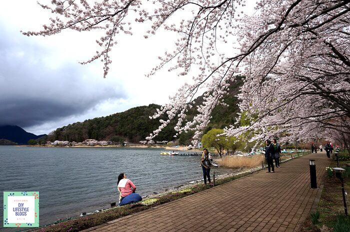 ซากุระ ญี่ปุ่น คาวากุจิโกะ 8
