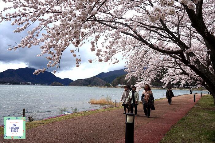 ซากุระ ญี่ปุ่น คาวากุจิโกะ