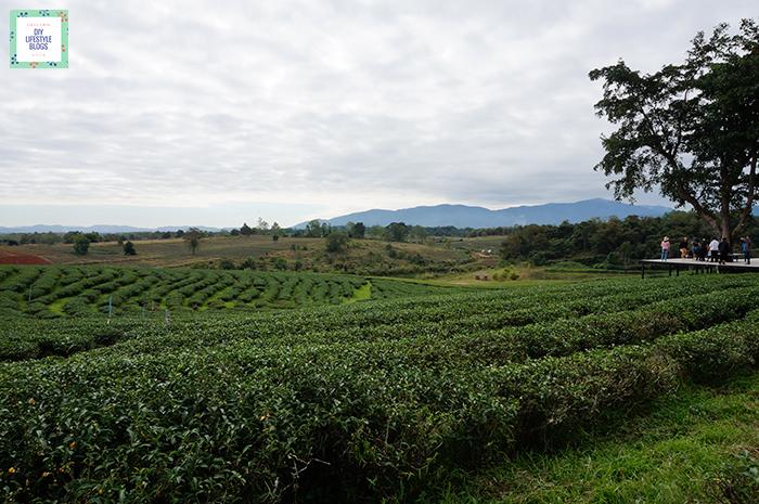 Tea Plantation_1